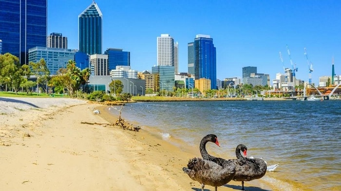 Nằm mộng thấy mình tới Úc để ngắm thiên nga đen