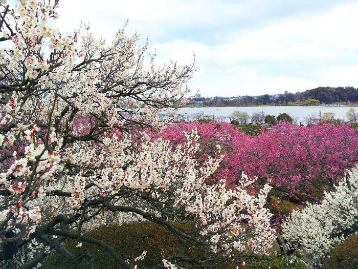 Mơ thấy mình đi du lịch Nhật Bản để ngắm hoa anh đào